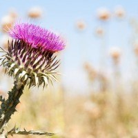 milk-thistle-benefits silymarin